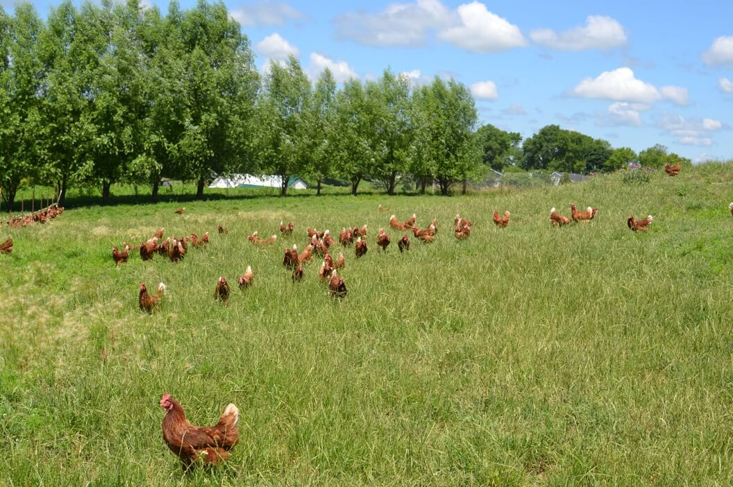 Chickens in an open pasture